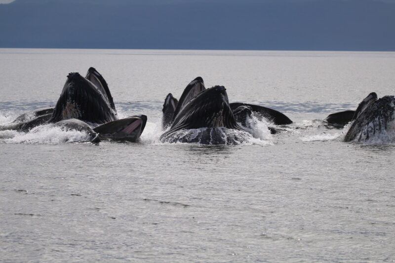A photo of humpback whales near Aristazabal Island.