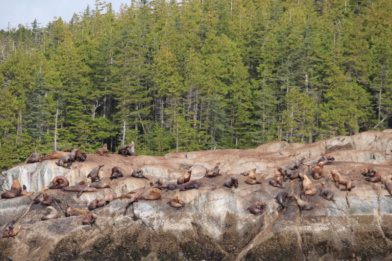 A photo of California sea lions on the rocks at the edge of the Great Bear Rainforest.