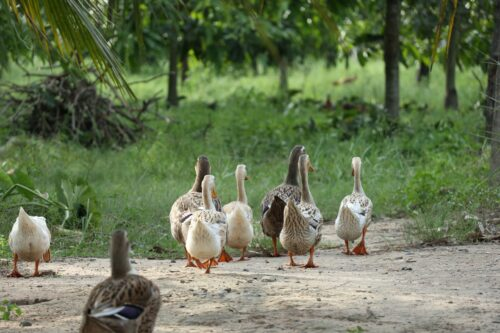 Des canards sur une ferme.