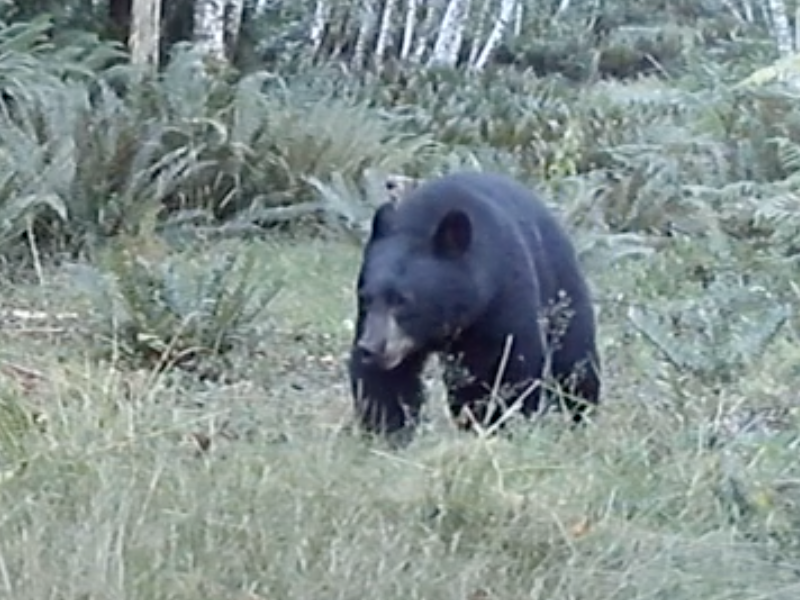 A black bear pictured on a web cam photo in the woods.