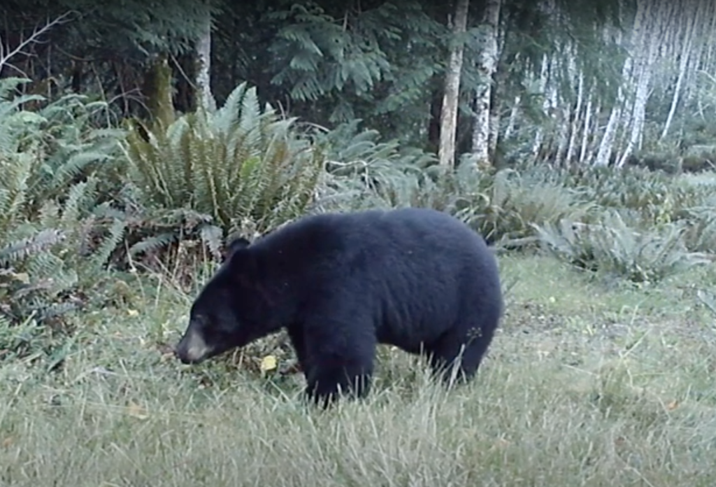 All images of Squirrel Cove Bear taken from Graham Blake's web cam recording ofSep 8, 2020