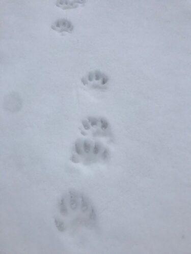 wolverine photos in snow