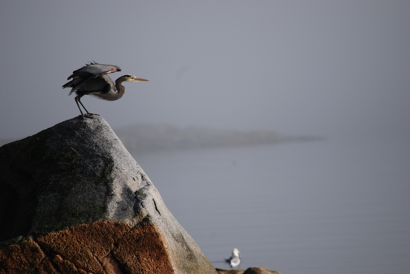 Heron. perched on a rock, seconds before it takes flight