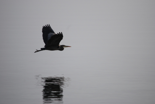 A heron flies over the water, its reflection on the surface below