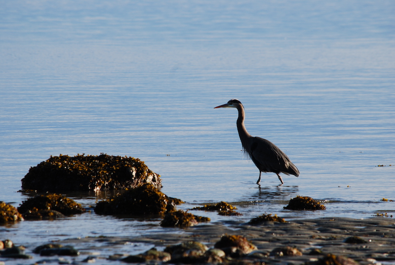 A heron wades along the shallow waters of a kelp filled beach