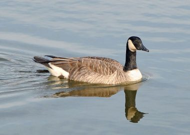 A Canada Goose floats on the water
