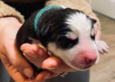 Picture of newborn Husky puppy.