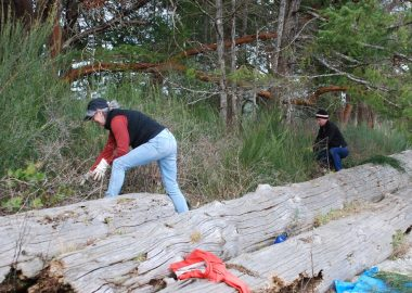 Two people are seen stepping over four logs on a beach next to a forest as they clear out broom