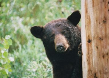 A stock image of a black bear peaking around a tree.
