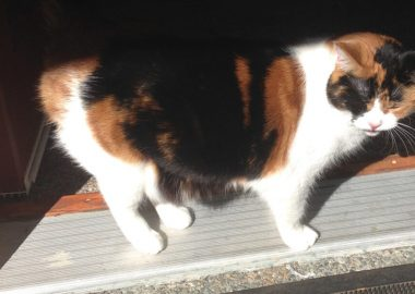 Picture of a brown and white cat standing on the doorstep of a house.
