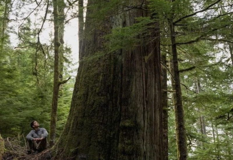 Man sitting in the forest, looking up at giant old growth tree