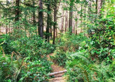 A path with ferns on either side meanders through a forest.