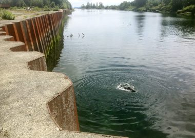 A seal swims next to the former sawmill site in Courtenay, B.C.