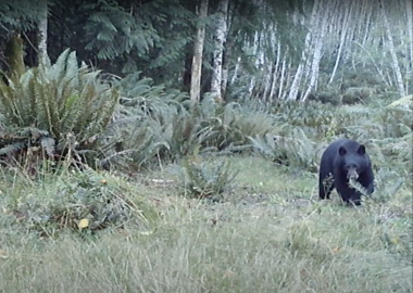 A black bear in the woods is captured on a web camera in Cortes.