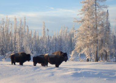 Un troupeau de bisons dans un paysage hivernal, à Fort Smith, aux Territoires du Nord-Ouest