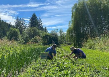 Two island growers work in a large green field on a sunny day in Cortes.