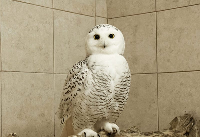 A snowy owl is seen perched on a branch in front of a brown tile background.