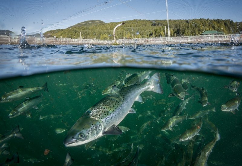 Top photo credit: salmon inside the Phillips Arm fish farm (2016) - courtesy Ian Roberts, formerly of Marine Harvest.