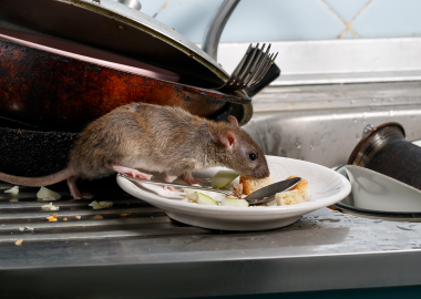 Rat sniffing leftovers