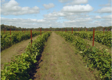 A picture of the vineyard on a blue sky day with a few clouds.