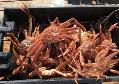 A photo of Snow Crabs in a bin on the Magdalen Islands.