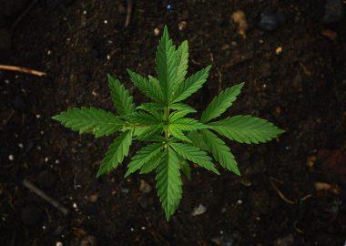 Plante de cannabis dans la terre