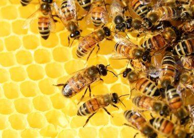 Abeilles sur un rayon de miel