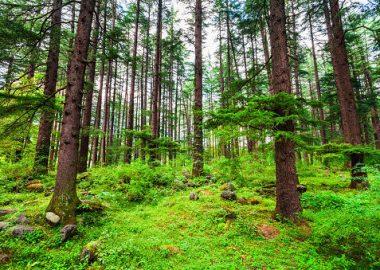 Des arbres bruns dans une forêt verte, avec des champignons et des roches au sol.