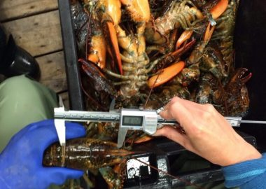 A fisherman measuring a lobster
