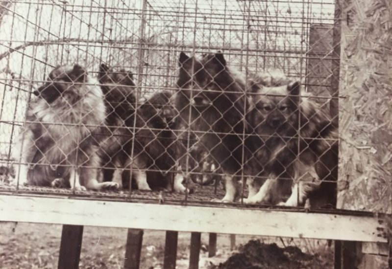 A black and white photo of several dogs in an elevated outdoor cage