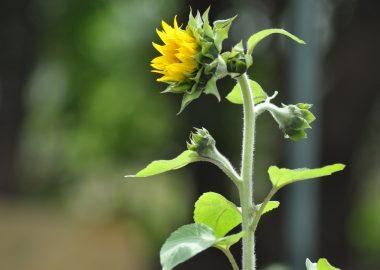 Photo d'un fleur de tournesol dans un jardin